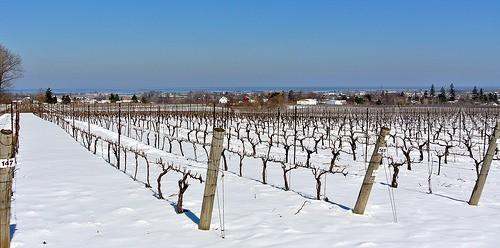 Niagara Winery Grape Field During Winter