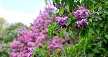 Niagara Falls Centennial Lilac Garden